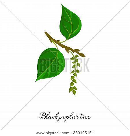 Vector Drawing Branch Of Black Poplar Tree, Hand Drawn Illustration