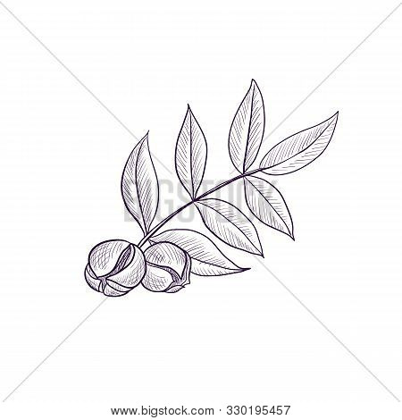 Vector Drawing Branch Of Hickory Tree, Hand Drawn Illustration