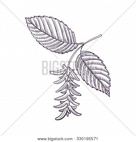 Vector Drawing Branch Of Hornbeam Tree With Leaves And Seeds, Hand Drawn Illustration