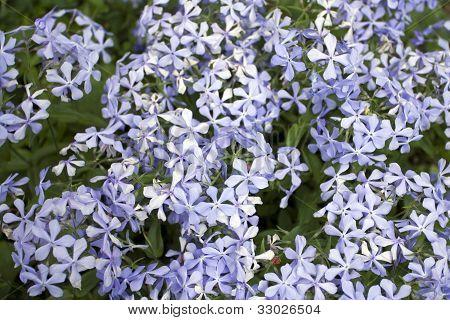 Beautiful Blue Flowerets