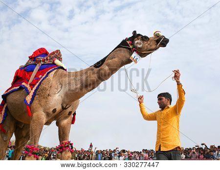 Dromedary Camel Dancing During Camel Festivan In Rajasthan State, India