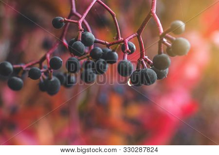 Autumnal View Of Ivy Blue Berries And Red Foliage. Hedera Helix (common Ivy, English Ivy, European I