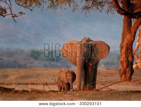 African Bush Elephant - Loxodonta Africana Small Baby Elephant With Its Mother, Drinking, Sucking Mi