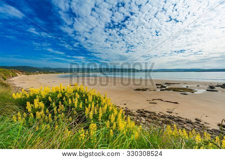 Porpoise Bay Beach near Curio Bay with blooming yellow flowers on the South of  the South Island, New Zealand