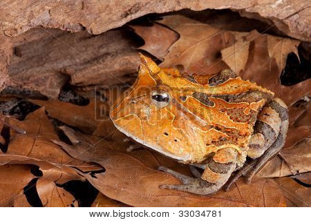 horned toad Ceratophys cornuta, Amazon rainforest amphibian nocturnal animal with brown color big mouth frog