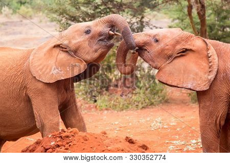 Two Small Baby Elephants Playing At Elephant Orphanage In Nairobi, Kenya, Africa.