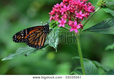 Monarch on a flower