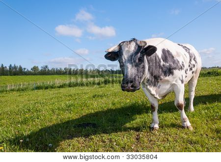 Gray Cow Looking Expectantly
