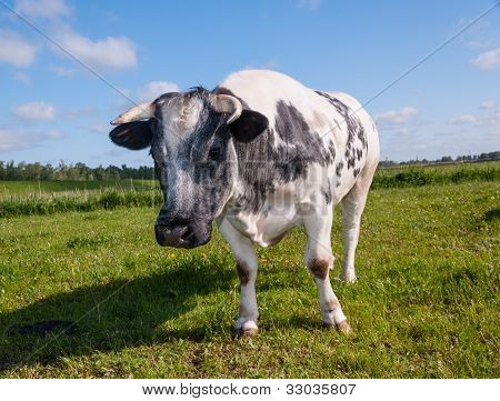 Looking Gray Spotted Cow