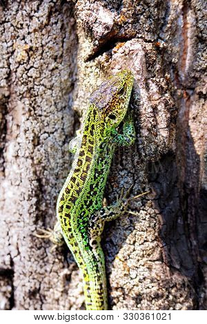 Male Of Sand Lizard Crawling Up The Trunk Of The Tree. Males Turn Bright Green During The Spring Mat