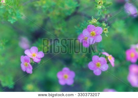 Beautiful Floral Natural Background. Gentle Pink Flower Petals Of Shrubby Cinquefoil