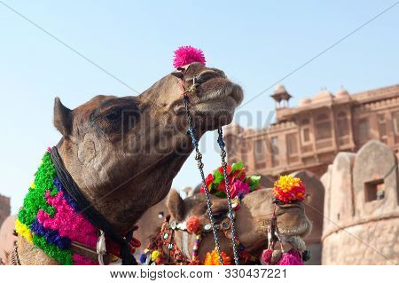 Beautiful Decorated Camels On Bikaner Camel Festival In Rajasthan, India. The Camel Festival Begins