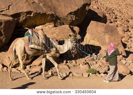 The Bedouin Leads One-humped Camel Dromedary Along A Mountain Path. Beautiful Morning Landscape Of T