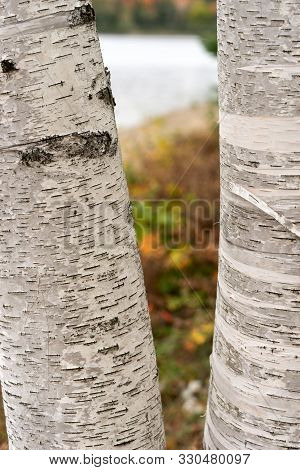 Closeup Of Two Birch Trunks At The Lakeshore
