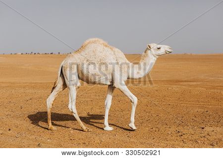 Beautiful White Camel Dromedary Walking By The Desert.
