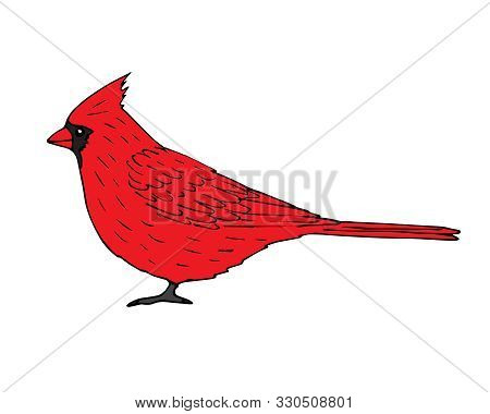 Vector Hand Drawn Red Cardinal Bird Isolated On White Background