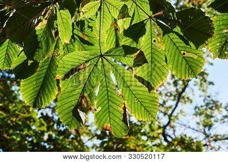 Sunlit  Buckeye Leaf During Autumn In Poland