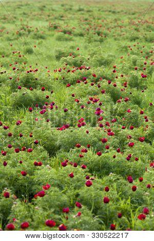 Narrow-leaved Peony. Meadow Flower. Flowering Field Of Wild Flowers - Paeonia Tenuifolia (narrow-lea