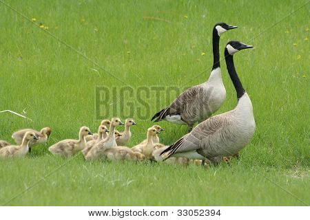 Two adult Canada Geese with a large gaggle of goslings poster