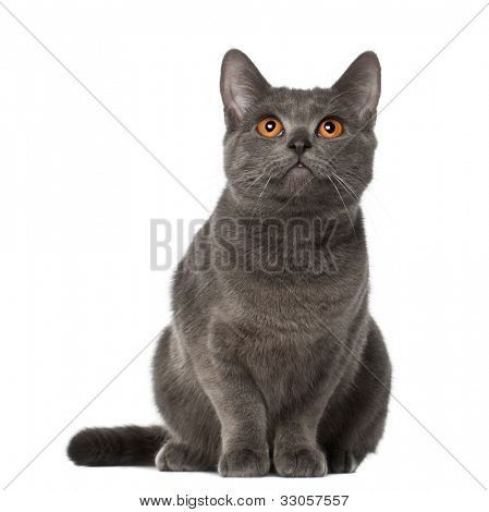 Chartreux cat, 9 months old, sitting in front of white background