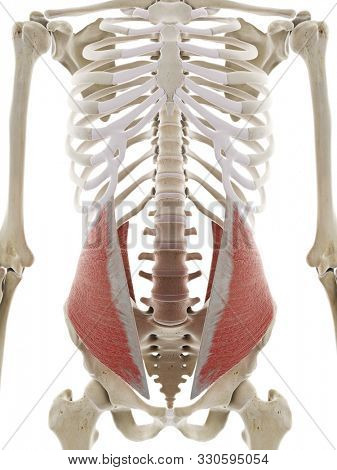 3d rendered medically accurate illustration of the internal oblique abdominal muscle