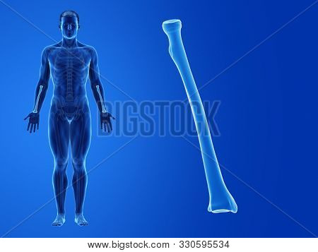 3d rendered medically accurate illustration of the human radius