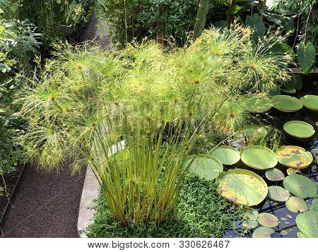 Papyrus (cyperus Papyrus), Papyrus Sedge, Paper Reed, Indian Matting Plant, Nile Grass Or Der Echte