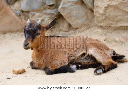 Little Goat Lie