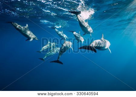 Spinner Dolphins Underwater In Blue Ocean. Dolphins Family At Mauritius