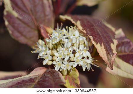 Variegated Siberian Dogwood Flowers - Latin Name - Cornus Alba Sibirica Variegata