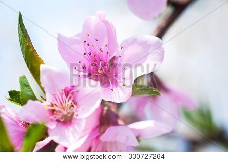 Close Up Of The Blooming Branch Of The Fruit Tree. Peach Blossoms Blooming On Peach Trees. Beautiful