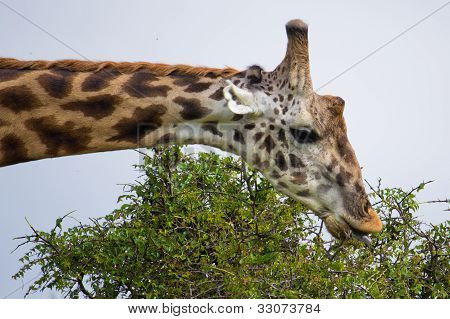 The Giraffes Portrait