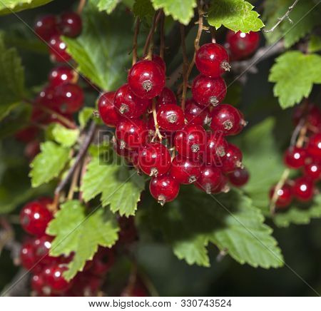 Red Berries, Redcurrant Berries In Close Up On A Twig, Green Leaves. Autumn.