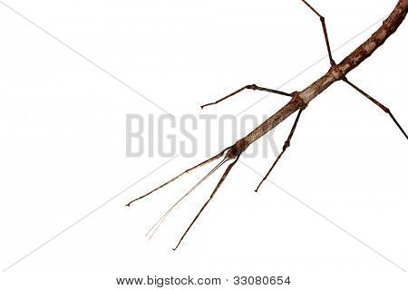 Walking stick (Phasmatodea) isolated on white background