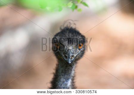 Close Up Of Head And Eye Of Emu / Dromaius Novaehollandiae