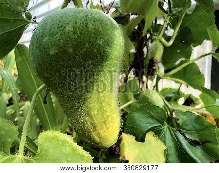 The Wax Gourd (benincasa Hispida (thunb.) Cogn.), Ash Gourd, White Gourd, Tallow Gourd, Ash Pumpkin,