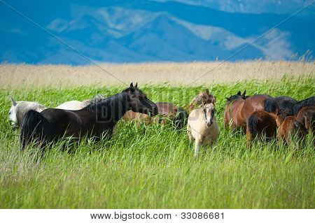 Grazing Horses On Grassland