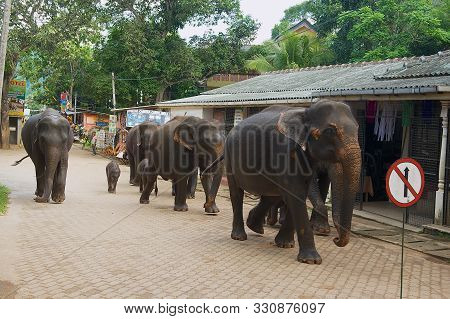 Pinnawala, Sri Lanka - May 18, 2011: Elephant Walks By The Street In Pinnawala, Sri Lanka. Pinnawala