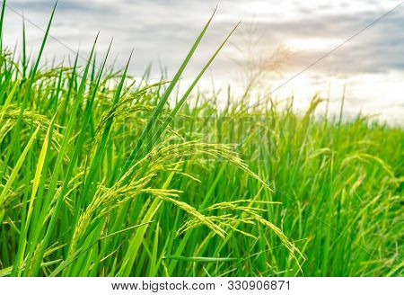 Green Rice Paddy Field. Rice Plantation. Organic Jasmine Rice Farm In Asia. Rice Growing Agriculture