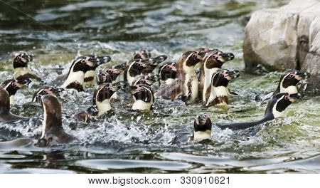 Noisy And Appearing Chaotic, A Raft Of South American Humboldt Penguins, Spheniscus Humboldti, Recog