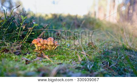 Bunch Of Small Autumn Mushrooms In A Green Moss