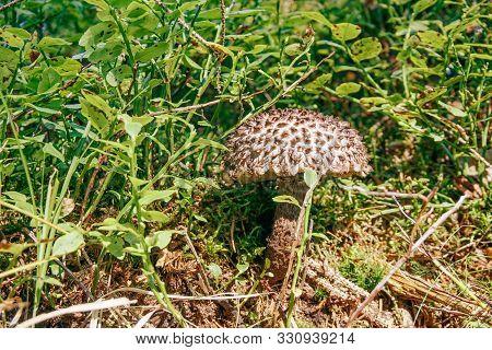 Strobilomyces Mushroom Is Growing In A Green Grass