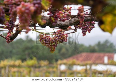 Bunches Of Red Grapes, Rosada, From Vineyard. Grape Harvest. Vineyards At Sunset In Autumn Harvest.