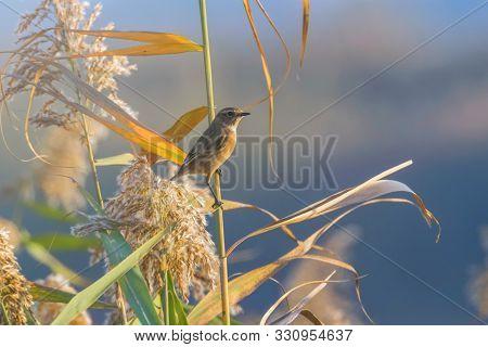 European Stonechat (saxicola Rubicola) On A Reed, Natural Habitat