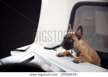 Humorous Shot Of French Bulldog Puppy Sitting In Chair At Desk Looking At Computer
