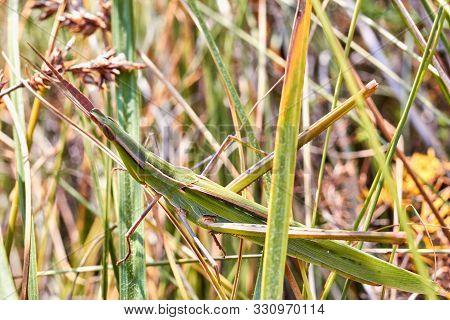 Grasshopper Sits On The Grass Close-up. Macro Photo Of A Grasshopper Sitting On A Sheet. Locust Sitt