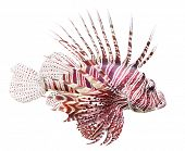 Tropical fish - The Red Lionfish (Pterois volitans) is very dangerous coral reef fish. Lionfish venomous dorsal spines are used for defense. poster