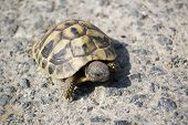 Turtle Crossing A Country Road In The National Nature Park Near Rezovo Bulgaria poster