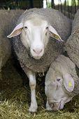 Sheeps are feeding in pen on livestock fair poster