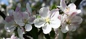 Fresh gentle flowers of an apple-tree with an easy pink raid on white petals decorate a branch of the blossoming tree. poster